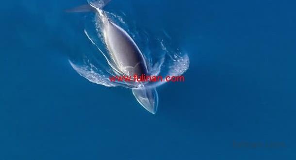 虎鲸猎食小须鲸